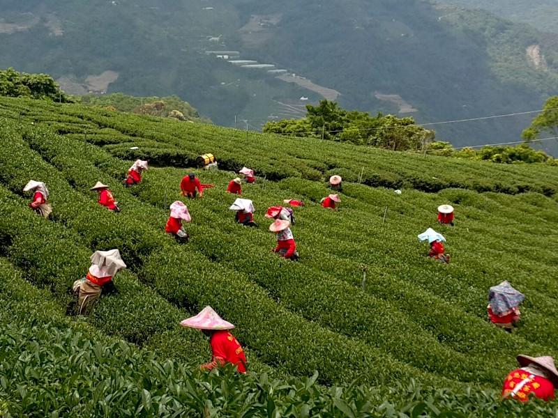 茶行批發推薦,茶商批發,高山茶推薦,製茶廠,合歡山高冷茶